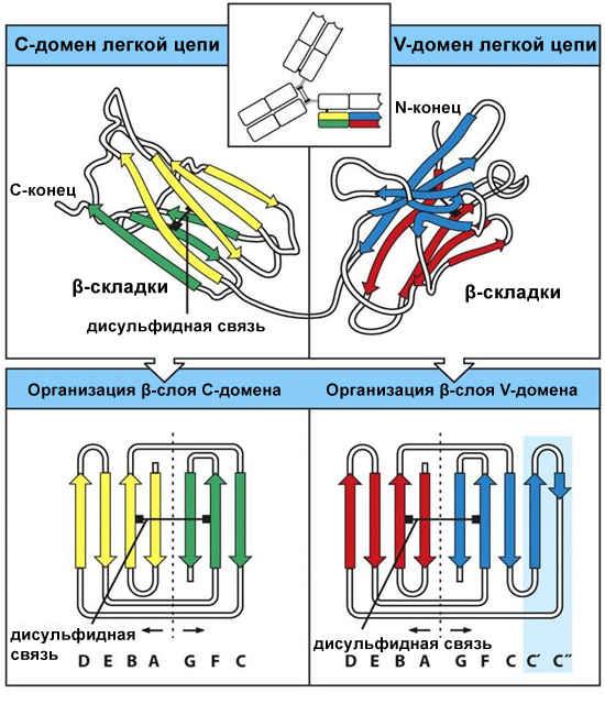 Домены молекулы иммуноглобулинов