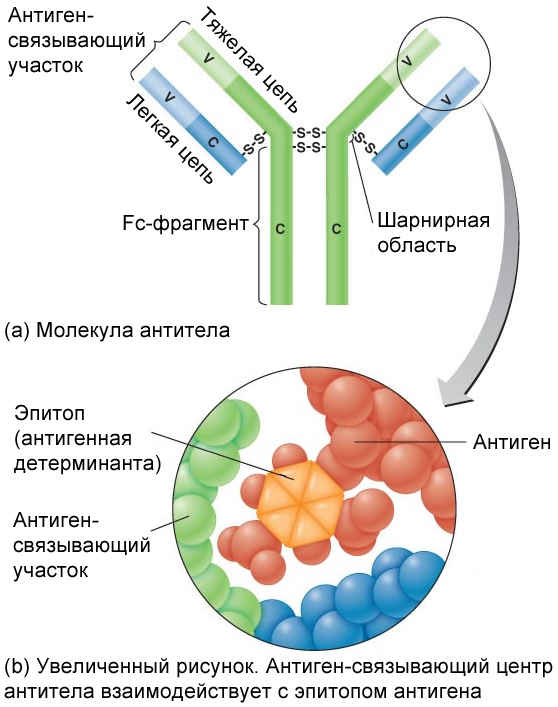 Взаимодействие антигена и антитела