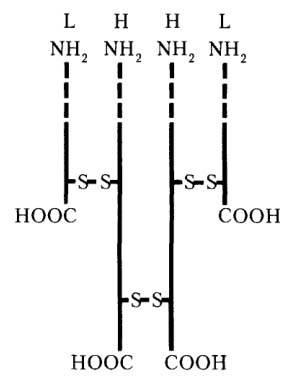 Пептидные цепи иммуноглобулинов
