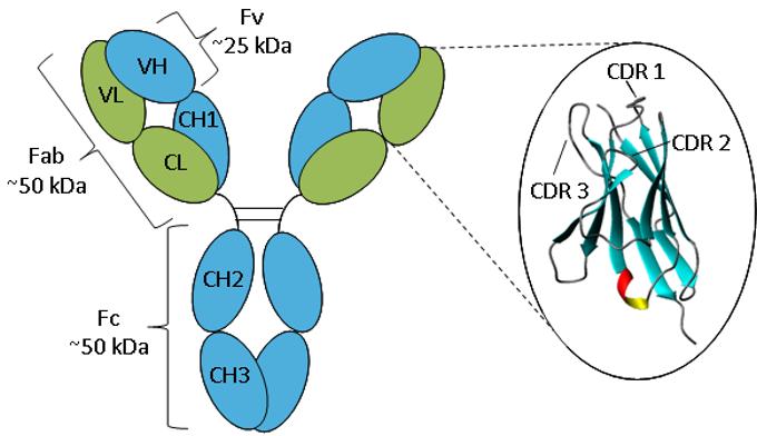 Схематическое изображение антитела